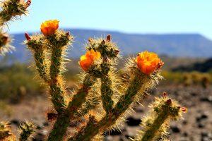 Sonoran Desert cactus flower